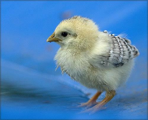 poulette2.jpg